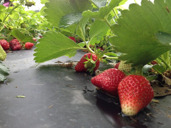 strawberry picking 5